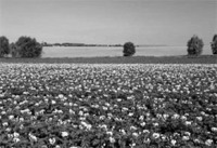 Nitrogén tartalmú műtrágya hatása a növény növekedésében