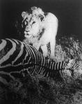Oroszlán elejtett zebrával