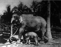 A ceyloni elefánt
