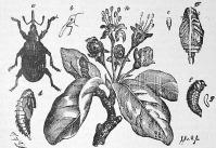 Bimbólikasztó bogár