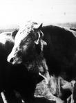 A mezőhegyesi uradalom gulyájának egyik bikája