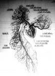 A szív és a vérerek