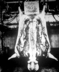 Miska. A budapesti hízottsertés-kiállítás díjnyertes példánya, 465 kg, élősúlyban.