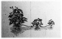 A szamóca ültetése