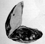 Gyöngykagyló