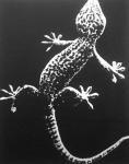 A gekko-gyík