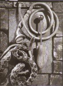 Kígyó és sámfa