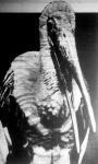Töprengő marabu