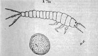 A tiszavirág lárvája és petéje