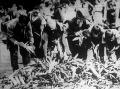 Főzni való kukorica válogatása, fosztása