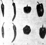 A paprikafajták termései